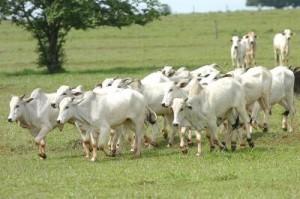 Zebu-Rind: schmackhaftes Fleisch aus Brasilien