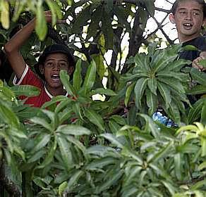 Jungen klauen gerne mal Mangos