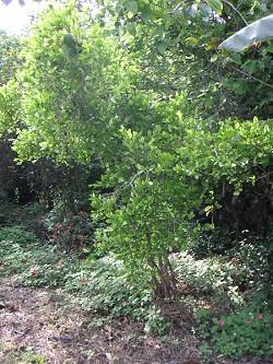 Die Blätter der Kokapflanze dienen den Indios noch heute als wichtige Nahrungsergänzung (Foto: Wikipedia)