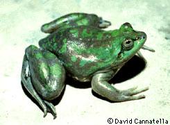 Der 'Paradoxer Frosch': sein Sekret kann die Insulinproduktion bei Menschen anregen (Lizenz:CC3.0en)