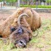 bison-goiania-rcol