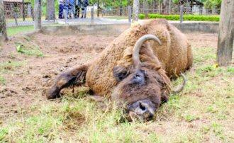 bison-goiania