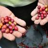 Dürre in Brasiliens Südosten wirkt sich auf Kaffeepreise aus