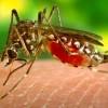 Brasilien: Bakterium soll Verbreitung von Dengue-Fieber eindämmen
