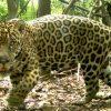 Pantanal: Millionenschwere Jaguare