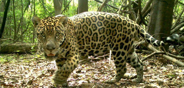 Pantanal: Millionenschwere Jaguare - brasilien Magazin