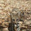 Caatinga beherbergt nur noch 150 Wildkatzen