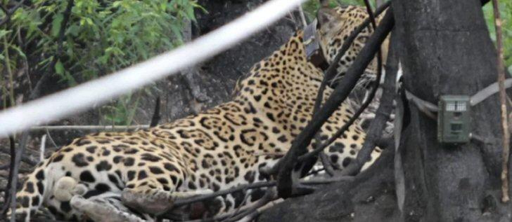 onca-pantanal